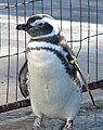 Pinguim-DSC08880.JPG