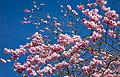 Pink double cherry blossoms in Torp 1.jpg