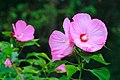 Pink flowers at the Gunma Flower Park - panoramio.jpg