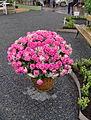 Pink roses . Lisebergs trädgårdsdagar.jpg
