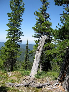 Sibirische Zirbelkiefer (Pinus sibirica)
