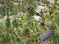 Pinus aristata cones Echo Lake.jpg