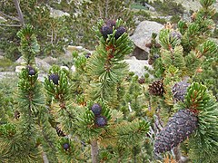 Pinus aristata cones Echo Lake.jpg