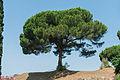 Pinus pinea Pompeii.jpg