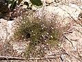 Plant 3a Sos Alinos Cala Liberotto 16072014 40.43219, 9.77814.jpg