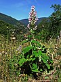 Planta Salvia sclarea - salvia romana (15287635137).jpg