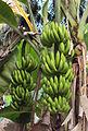 Plantain in Kerala.jpg