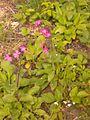 Plante de sous-bois clairs 20150523 162536 - 01.jpg