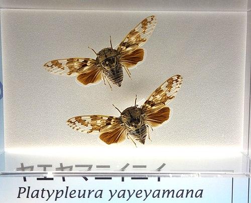 500px platypleura yayeyamana   national museum of nature and science, tokyo   dsc07089