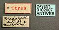 Platythyrea bicuspis casent0102007 label 1.jpg