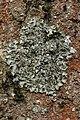 Pleurosticta acetabulum (41047799432).jpg