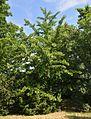 Plodove Novokahovka's Arboretum 33 (YDS 1140).jpg