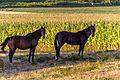 Plozevet - Horses - 08.jpg