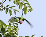 Plum-headed Parakeet (Psittacula cyanocephala).jpg