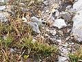 Poa alpina (3939451736).jpg