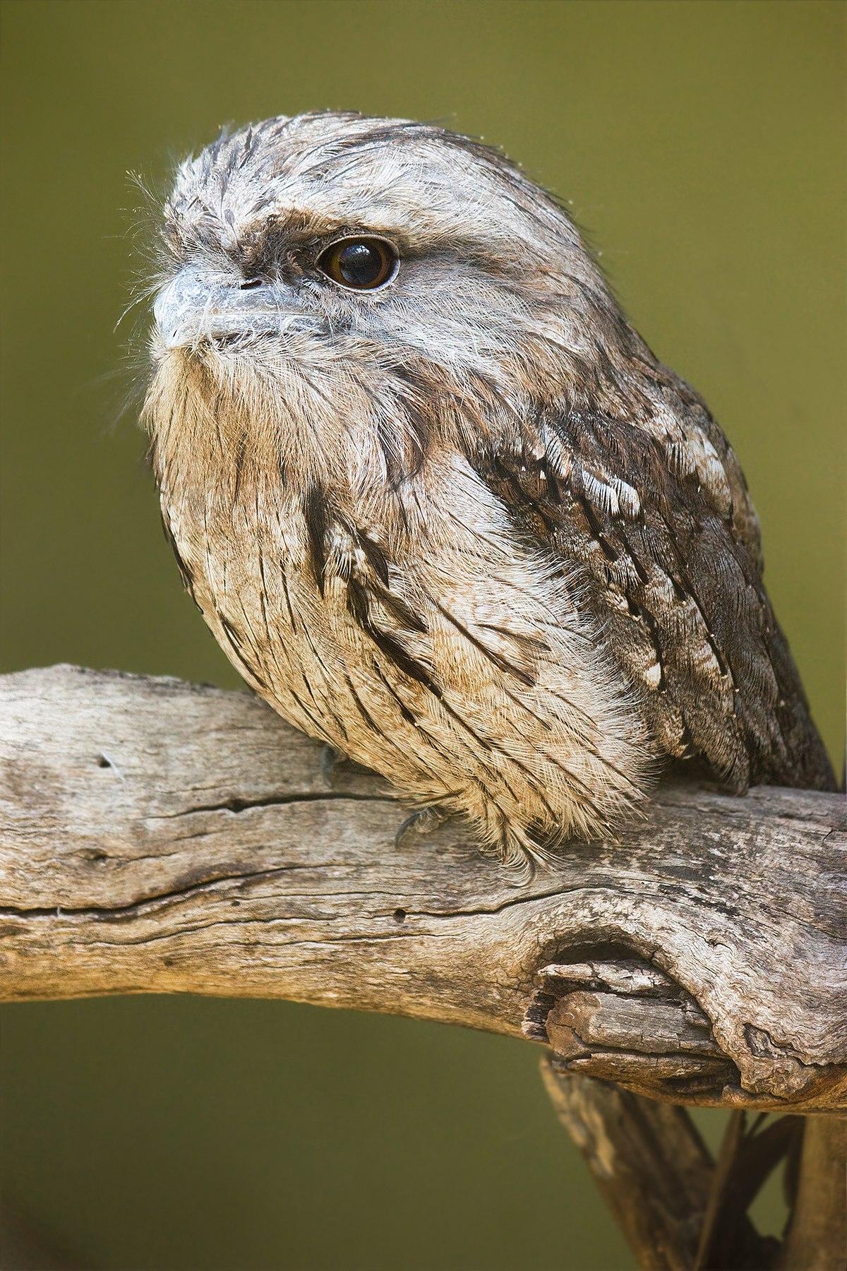 un oiseau - ajonc - 18 décembre 1200px-Podargus_strigoides_Bonorong