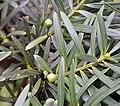 Podocarpus sprucei - Flickr - Dick Culbert.jpg