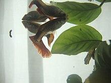 Lebistes peces reproduccion asexual de las plantas