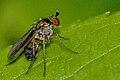 Poecilobothrus.nobilitatus2.-.lindsey.jpg