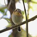 Poecilotriccus plumbeiceps Ochre-faced Tody-Flycatcher.JPG