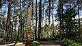 Pohon Pinus (Pinus Trees).jpg
