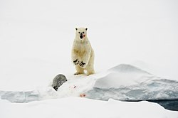 Polar bear with dead harp seal standing.jpg