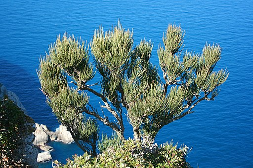 Pollença - Ma-10 - Mirador de Mal Pas - Ephedra fragilis 02 ies