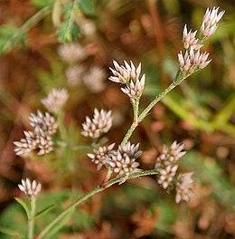Polycarpaea corymbosa W IMG 3046