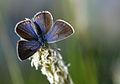 Polyommatus bellis (4).jpg