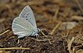 Polyommatus theresiae (Male)Saimbeyli Mavisi.jpg