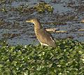 Pond heron1.jpg