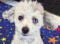 Poodle with sectoral heterochromia.jpeg