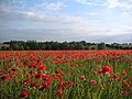 Poppies at Bran End - geograph.org.uk - 349891.jpg