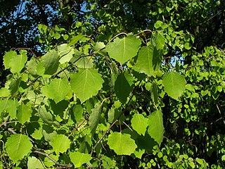 Topoľ osikový - listy