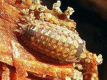 Wood louse sex