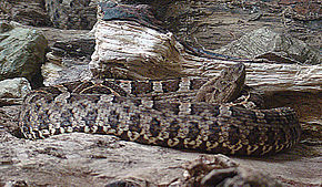 Description de l'image Porthidium ophryomegas, a Western Hognosed Pit Viper.jpg.