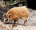Potamochoerus porcus Dvur zoo 4.jpg