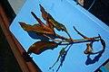 Potamogeton coloratus (8405211888).jpg