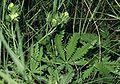 Potentilla recta ssp recta0 eF.jpg