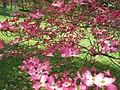 Pretty-yard-pink-dogwood-flowers - West Virginia - ForestWander.jpg