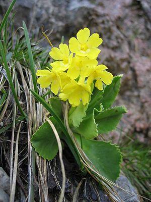 Primula auricula - Image: Primula Auricula