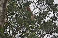 Proboscis Monkey (Nasalis larvatus) (6967246000).jpg