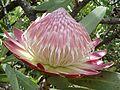 Protea caffra, oop blomhoof, Voortrekkermonument-NR, d.jpg
