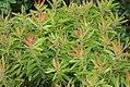 Protea neriifolia 0zz.jpg