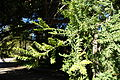 Prumnopitys ferruginea - San Francisco Botanical Garden - DSC09893.JPG