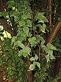 Prunus mume - Kunming Botanical Garden - DSC02922.JPG
