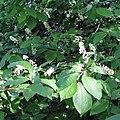Prunus serotina inflorescens1.jpg