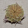 Psammechinus miliaris 109115822.jpg
