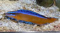 Pseudochromis aldabraensis 2.JPG