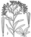 Pseudognaphalium obtusifolium (L.) Hilliard & B.L. Burtt Rabbit-tobacco.tiff